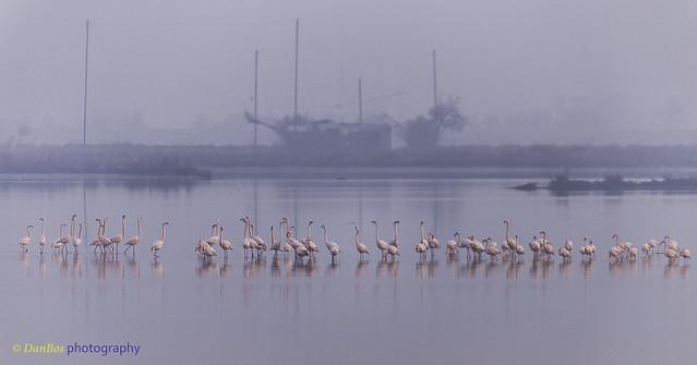 Winter Sunrise with Flamencos (Phoenicopterus Linnaeus) in the Comacchio Lagoon