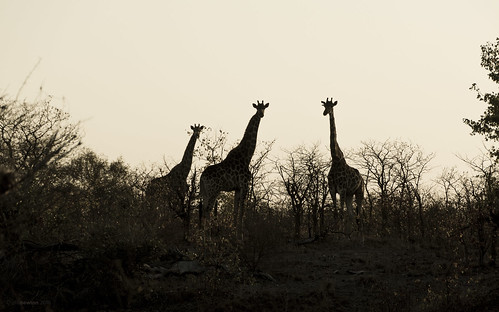 africa wild nature animal sunrise southafrica mammal outdoors nikon outdoor wildlife safari giraffe animalplanet krugernationalpark kruger satara silhouhette giraffacamelopardalisgiraffa d7200 nikond7200