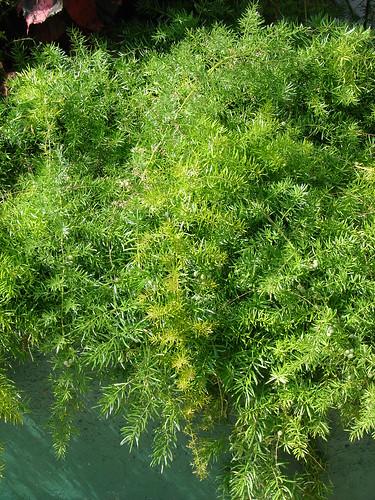 starr-080601-5283-Asparagus_densiflorus-Sprengeri_habit-Midway_House_Sand_Island-Midway_Atoll