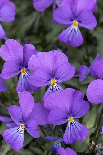 Viola corsice