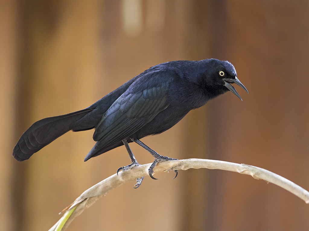 Greater Antillean Grackle     Cuba