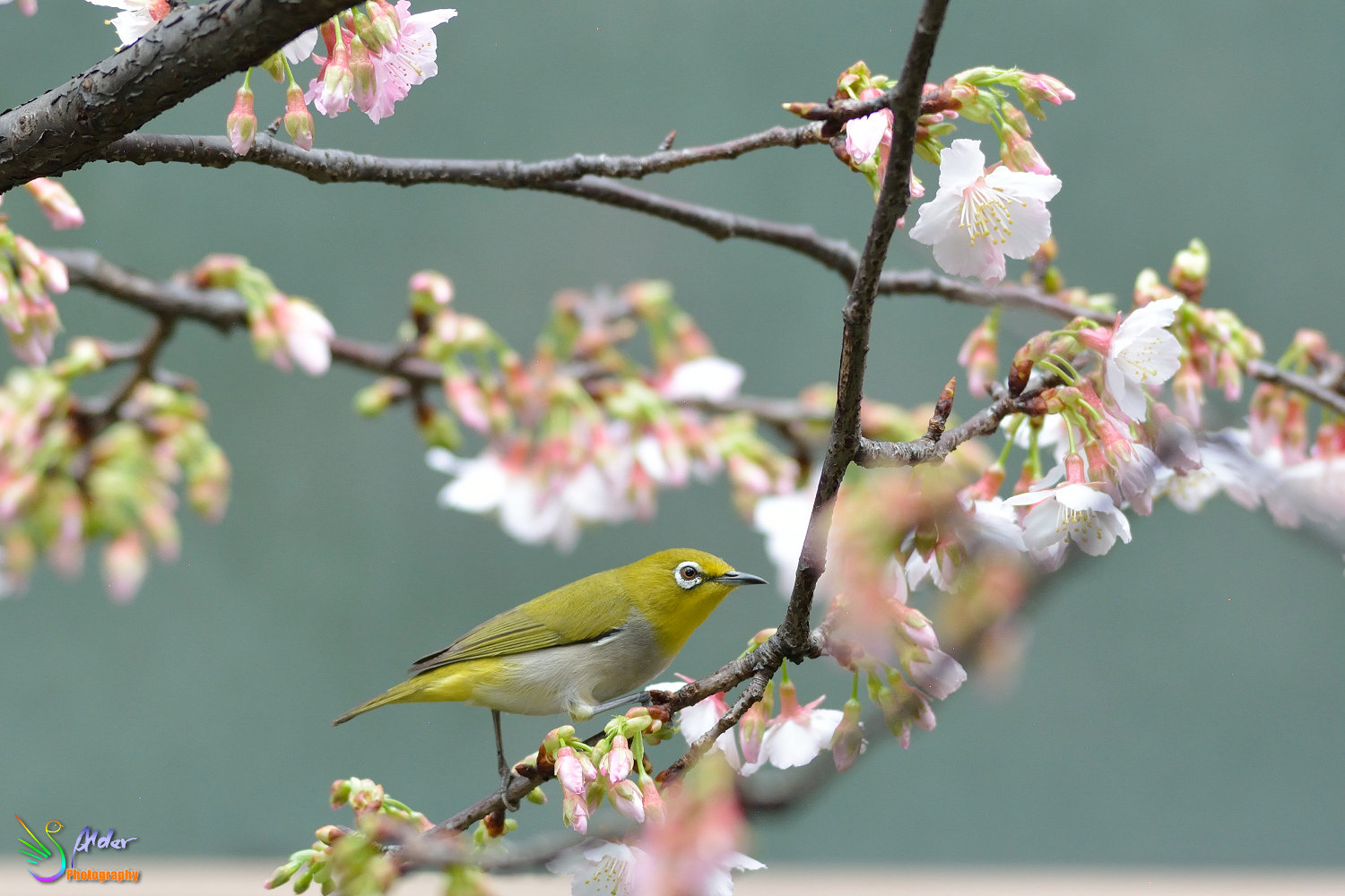 Sakura_White-eye_6675