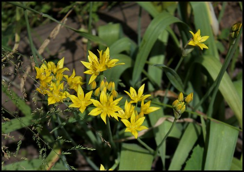 Allium moly 'Jeannine' - ail doré 25252597413_a024ffa668