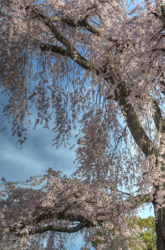 A famous tree of Sakura at Maruyama Park, Kyoto on APR 06, 2016 (17)