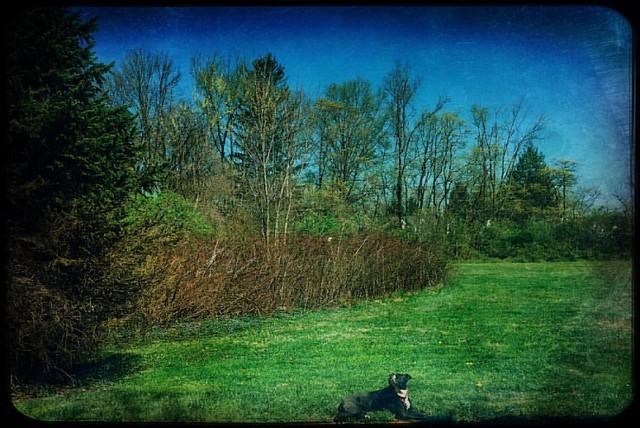 Sunbather #dogs #pitbulls #pitbullterriers #beautifulday