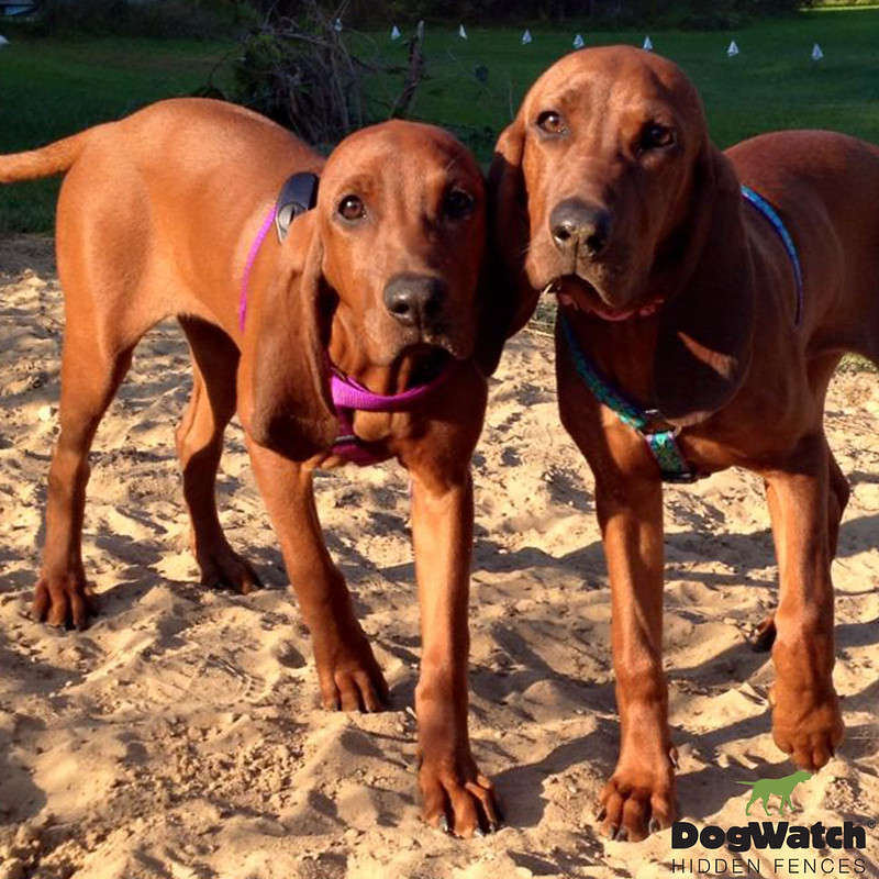 Jacee and Chelsee, Redbone Coonhounds, DogWatch of Upstate NY