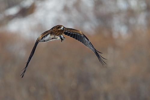 Black Kite
