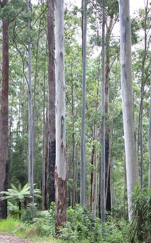 Blue Gum & Blackbutt (E. saligna & pilularis)