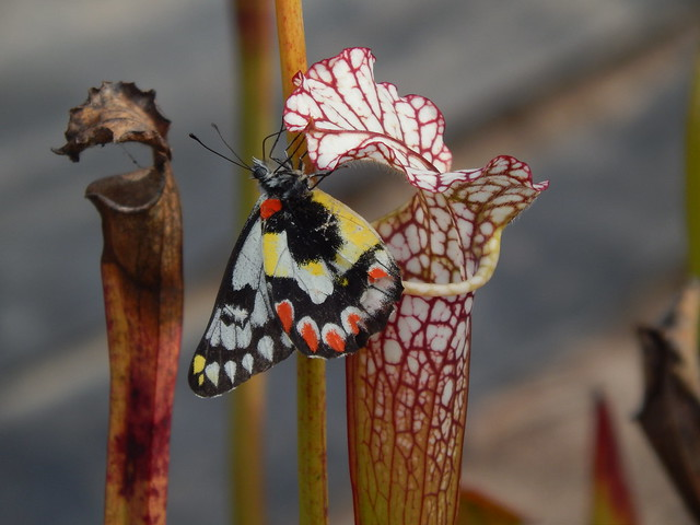 Wood white feeding at white-topped pitcher plants