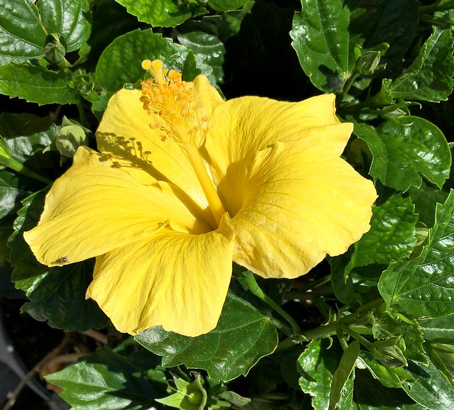 IMG_1672e ~ Yellow Hibiscus