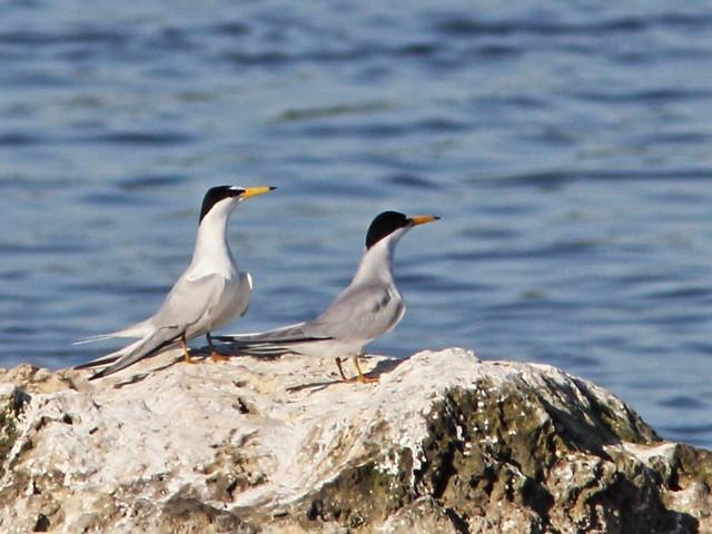 Least Tern 04-20160408