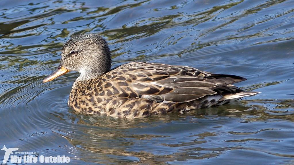 P1000675 - Gadwall, Sandy Water Park