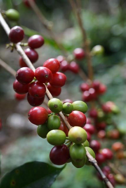 Juanas Kenyan varieties