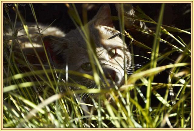 Le chat dans les herbes