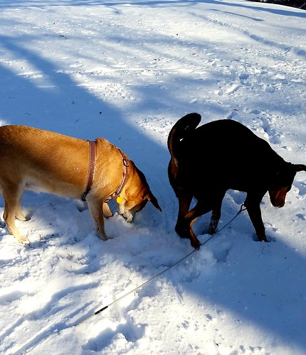 rescued dogs hound mix Doberman mix playing in the snow - Lapdog Creations