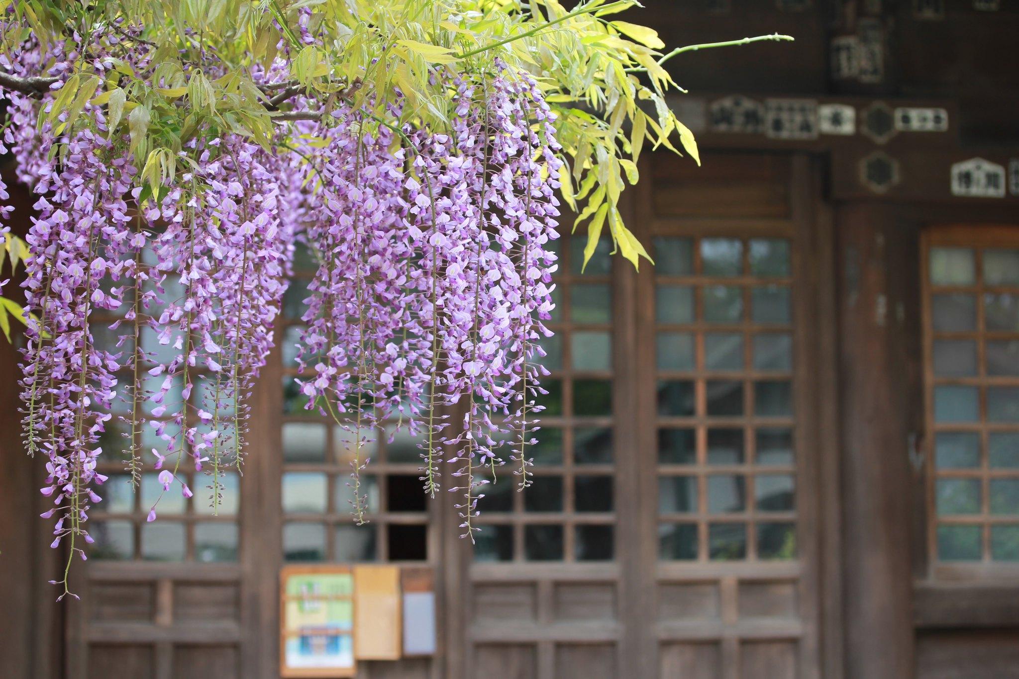 國領神社の藤  001