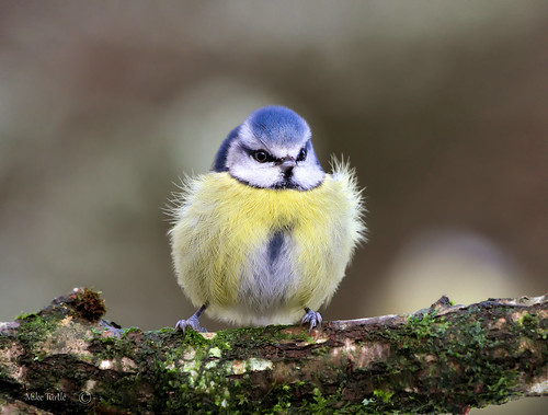 cold wales fluffy bluetit