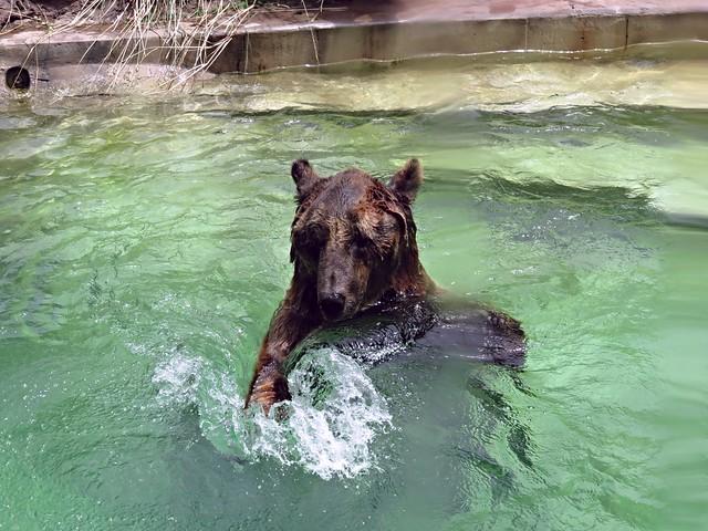 SwimmingBearBAZoo