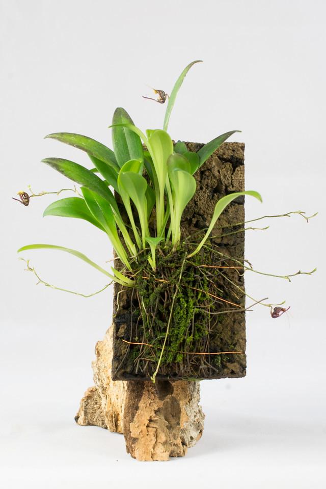 Miniatur-Orchideen Teil 3 - Seite 4 24610850983_d91ae42859_b