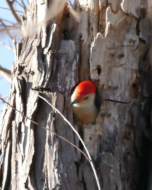 Red-bellied Woodpecker in Hole