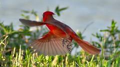Cardinal Taking Off at Navy Lake