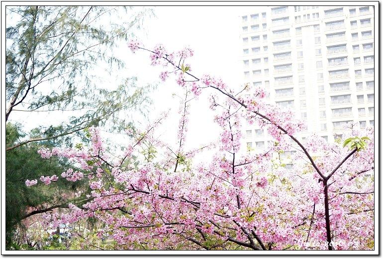 麗池公園河津櫻 (21)