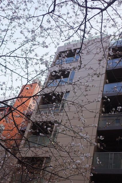Sakura blooming at Sakura street 04