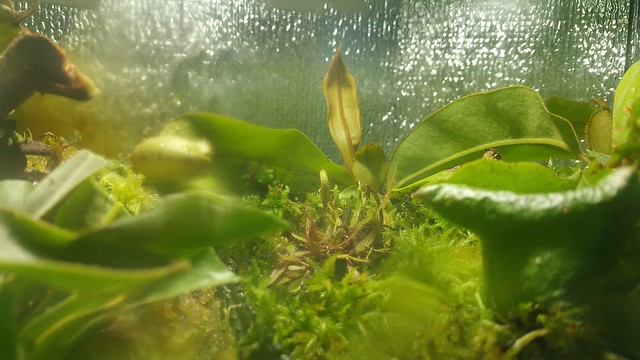 Nepenthes ampullaria freshly planted