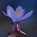 Crocus in a bottle! by ineedathis,The older I get the more fun I have....