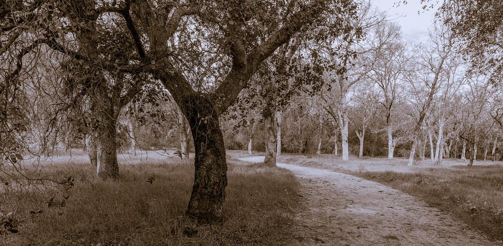Guadalupe Oak Grove Park Monochrome