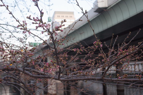 just a single cherry blossom bloomed