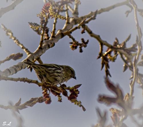 Oiseau chantant l'arrivée du printemps