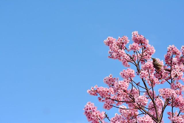 陽光桜とヒヨドリの写真