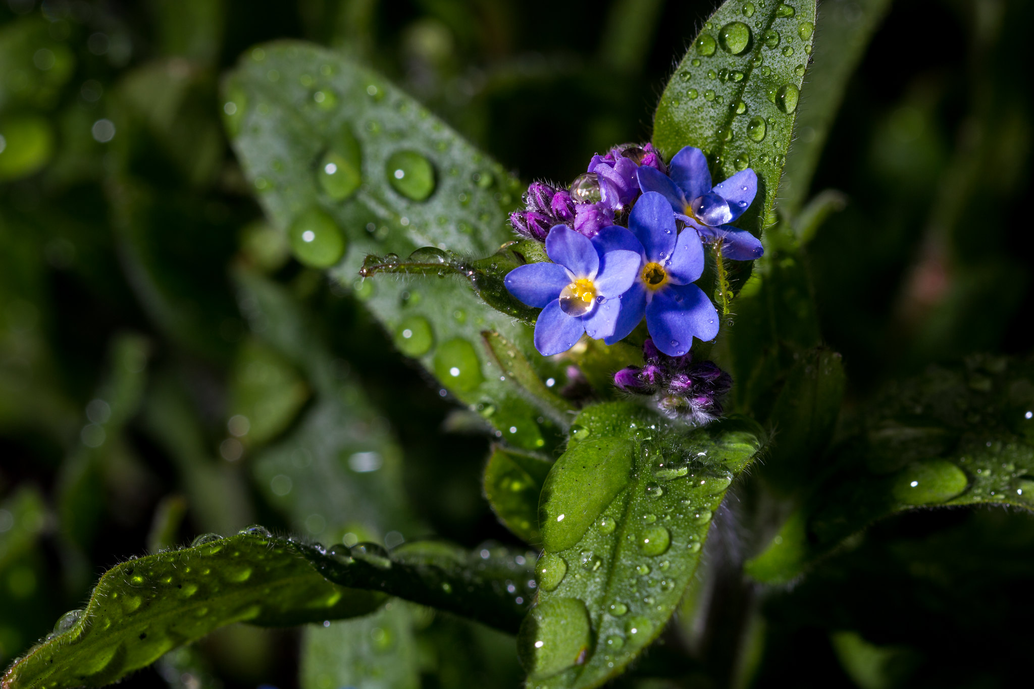 Blue-eyed Mary in the rain