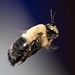 Carpenter Bee by Vzlet