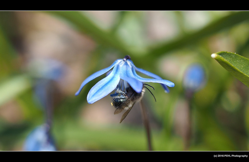 Osmia bee visiting squill