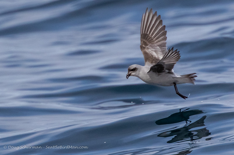 Forked-tailed Storm-Petrel