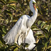 Love Song of the Great Egret (In Explore 1/11/2016) by Patty Bauchman