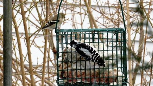 golden finch & downy woodpecker
