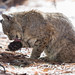 Yosemite National Park: Clean Bobcat