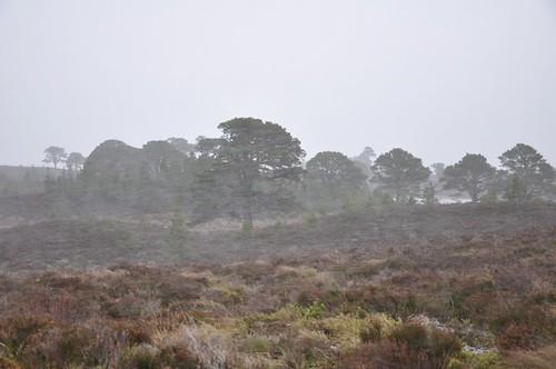 Abernethy pines