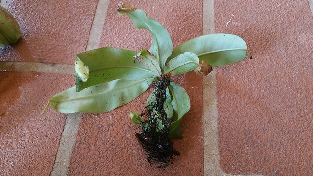 """Nepenthes ampullaria """"harlequin"""""""