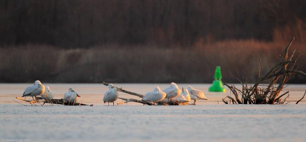 01_pelicani creti dormind