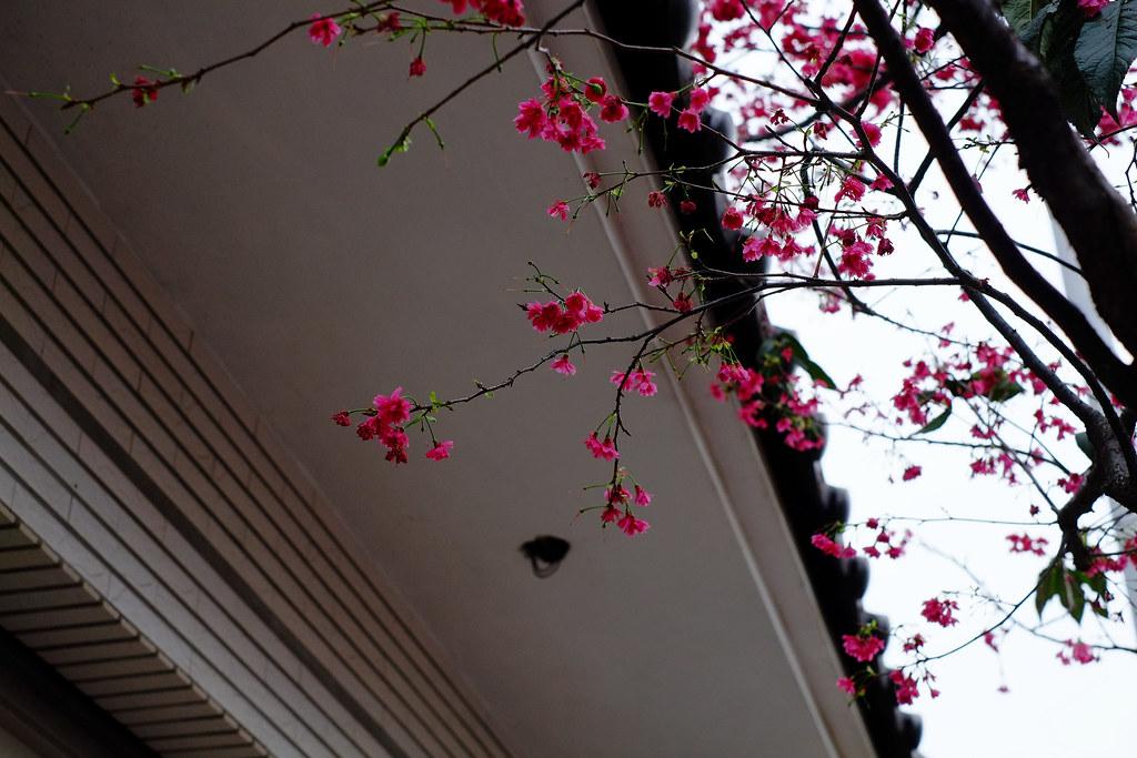 市區櫻花隨拍II