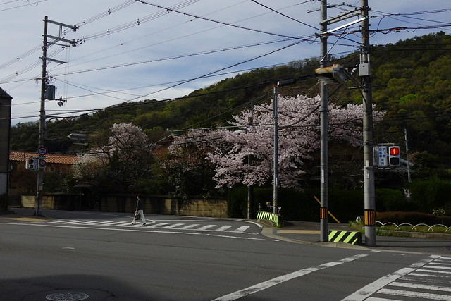 2016/04 松ヶ崎北山通のいつもの所