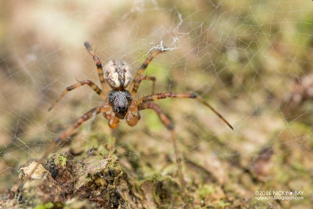 Hermit spider (Nephilengys sp.) - DSC_6293