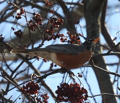 A Robin, Munching on Mountain Ash Berries