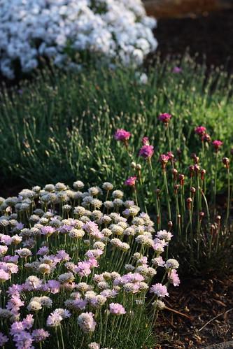 Seathrift, Dianthus, Phlox