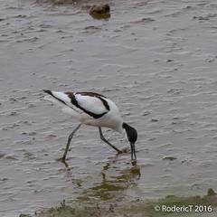 20160409-ROTL2522 Avocet Titchwell RSPB Reserve North Norfolk.jpg