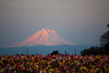 Tulip sunset with Mt Hood